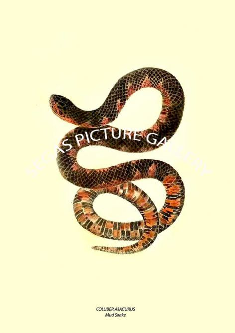 Fine art print of the COLUBER ABACURUS - Mud Snake by John Edwards Holbrook (1836)